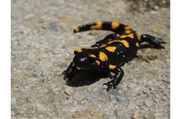 Дъждовник (Salamandra salamandra)